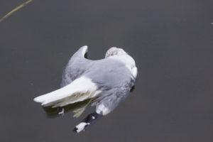 мертва чайка